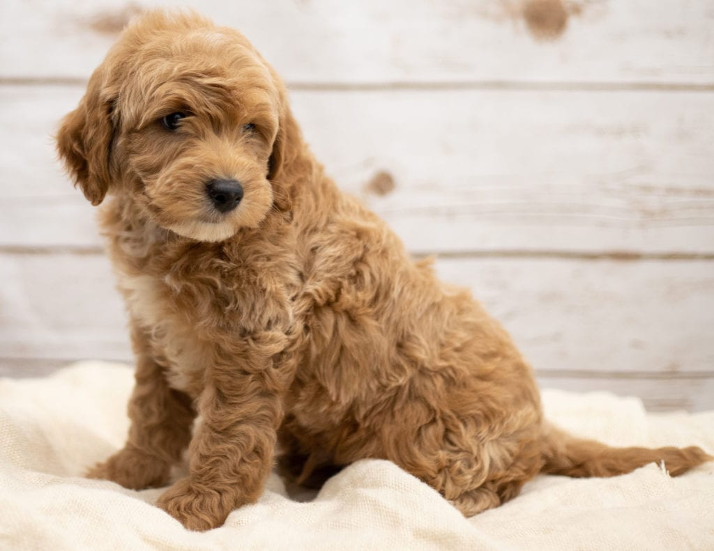 Karel is an F2B Goldendoodle that should have red and white abstract markings  and is currently living in Virginia