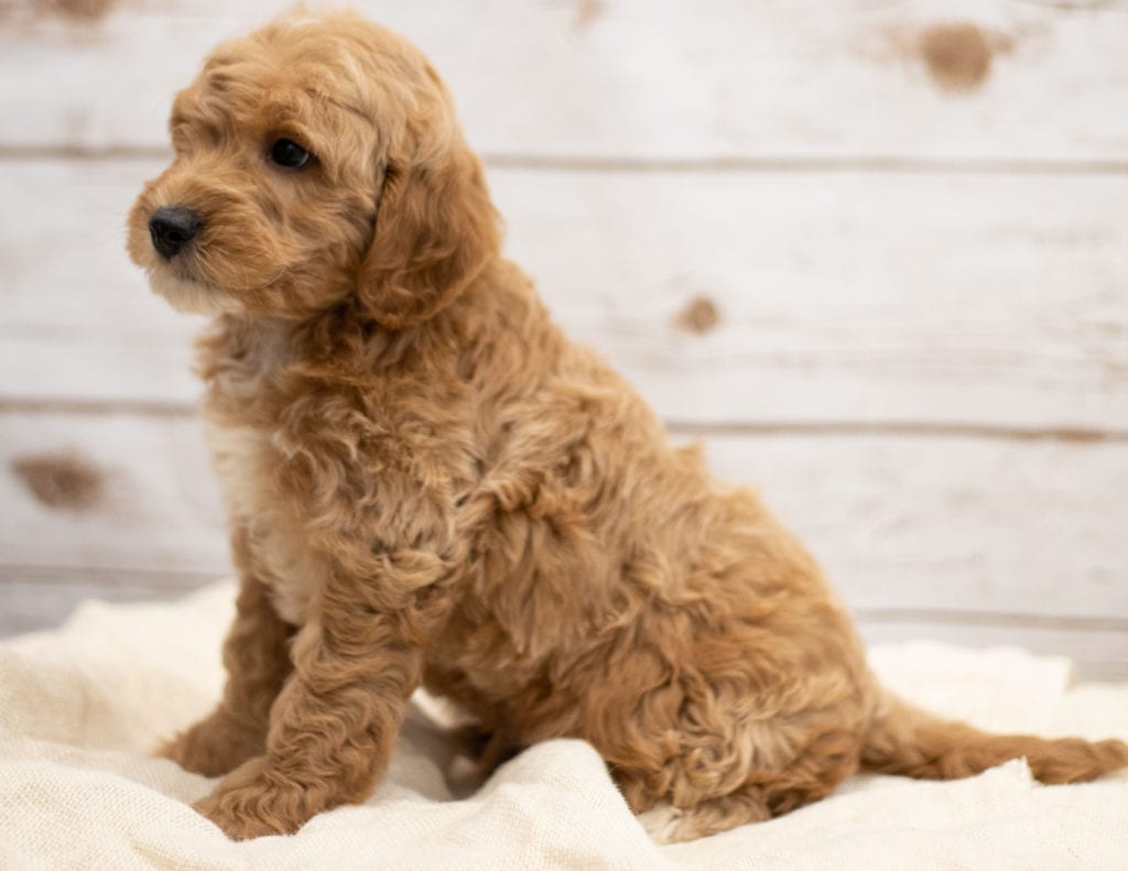 Another great picture of Karel, a Goldendoodles puppy
