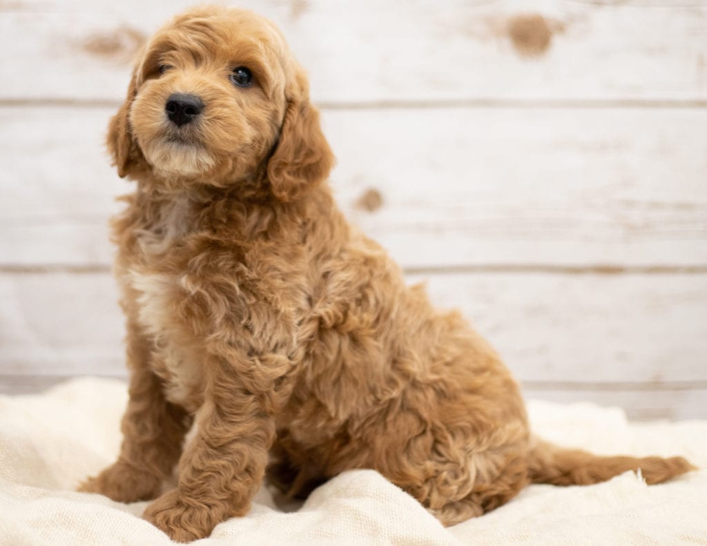 A picture of a Karel, one of our Mini Goldendoodles puppies that went to their home in Virginia