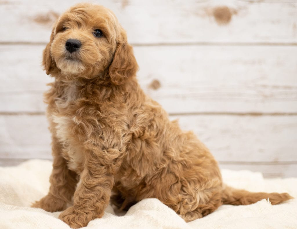 Karel came from Tatum and Teddy's litter of F2B Goldendoodles