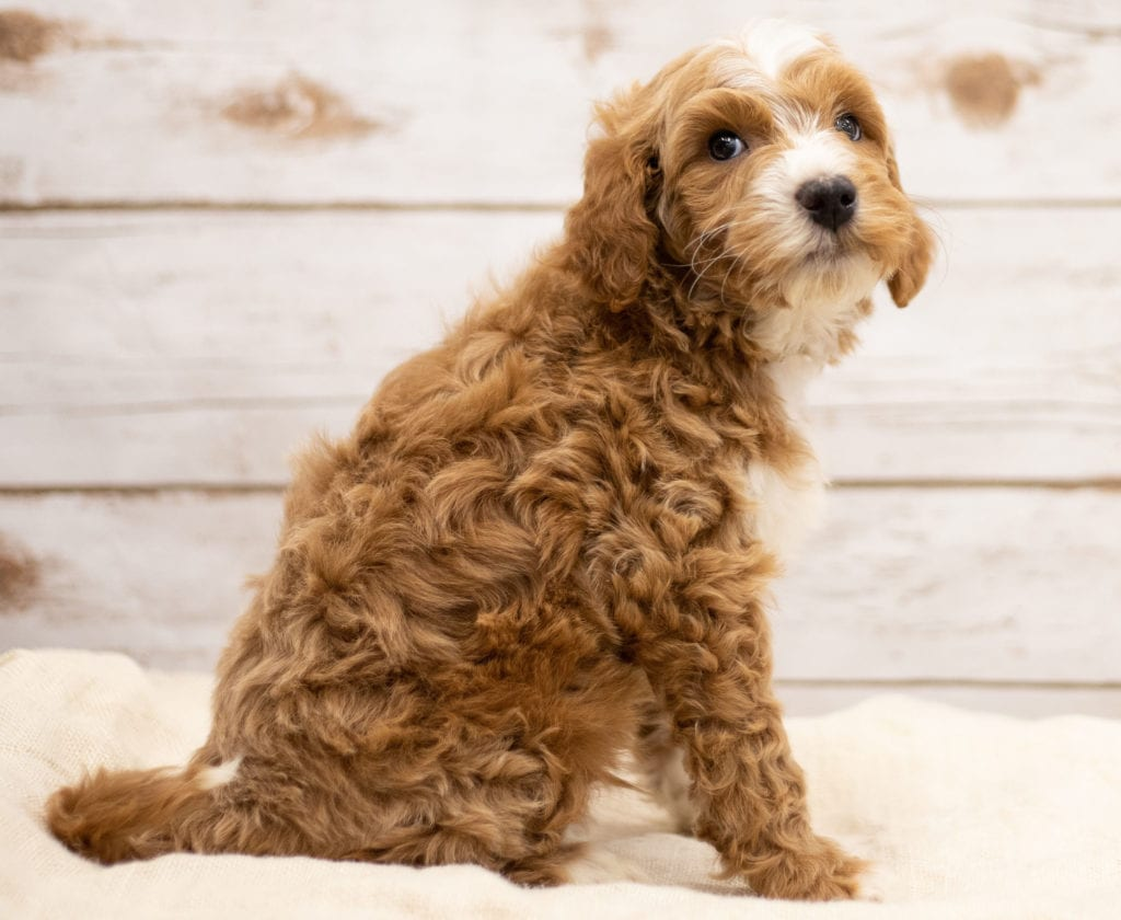 Kasper came from Tatum and Teddy's litter of F2B Goldendoodles