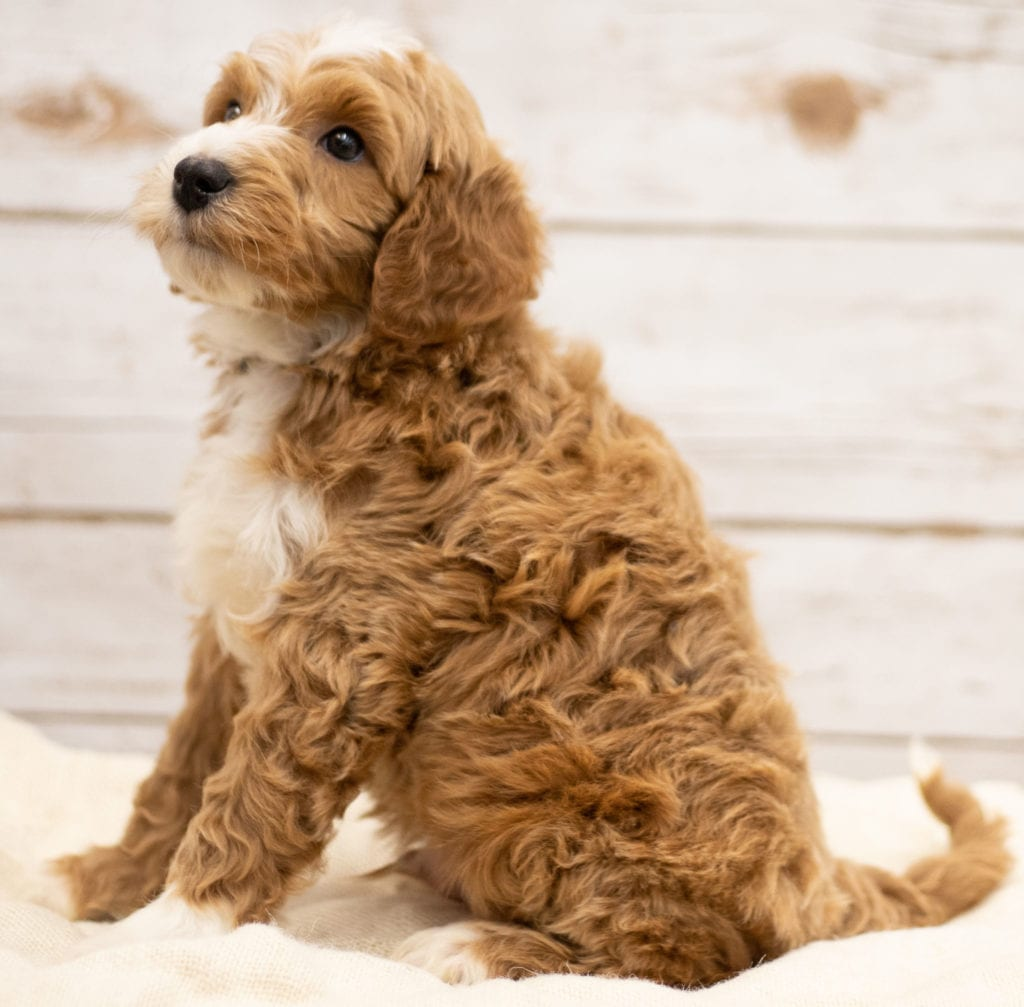 Another great picture of Kasper, a Goldendoodles puppy