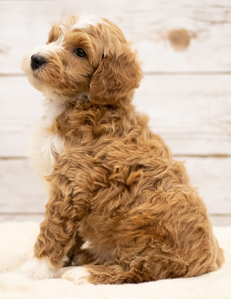 A picture of a Kasper, one of our Mini Goldendoodles for sale