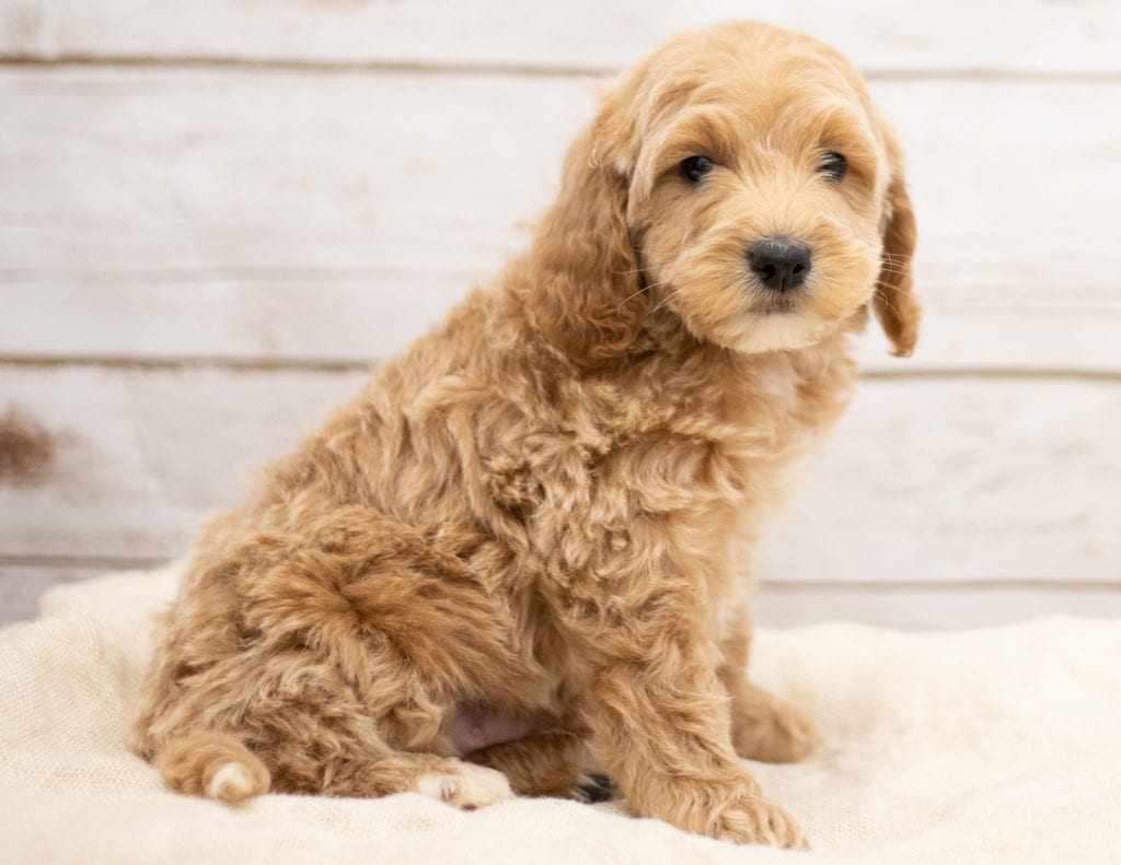 A picture of a Kaspo, one of our Mini Goldendoodles puppies that went to their home in Nebraska