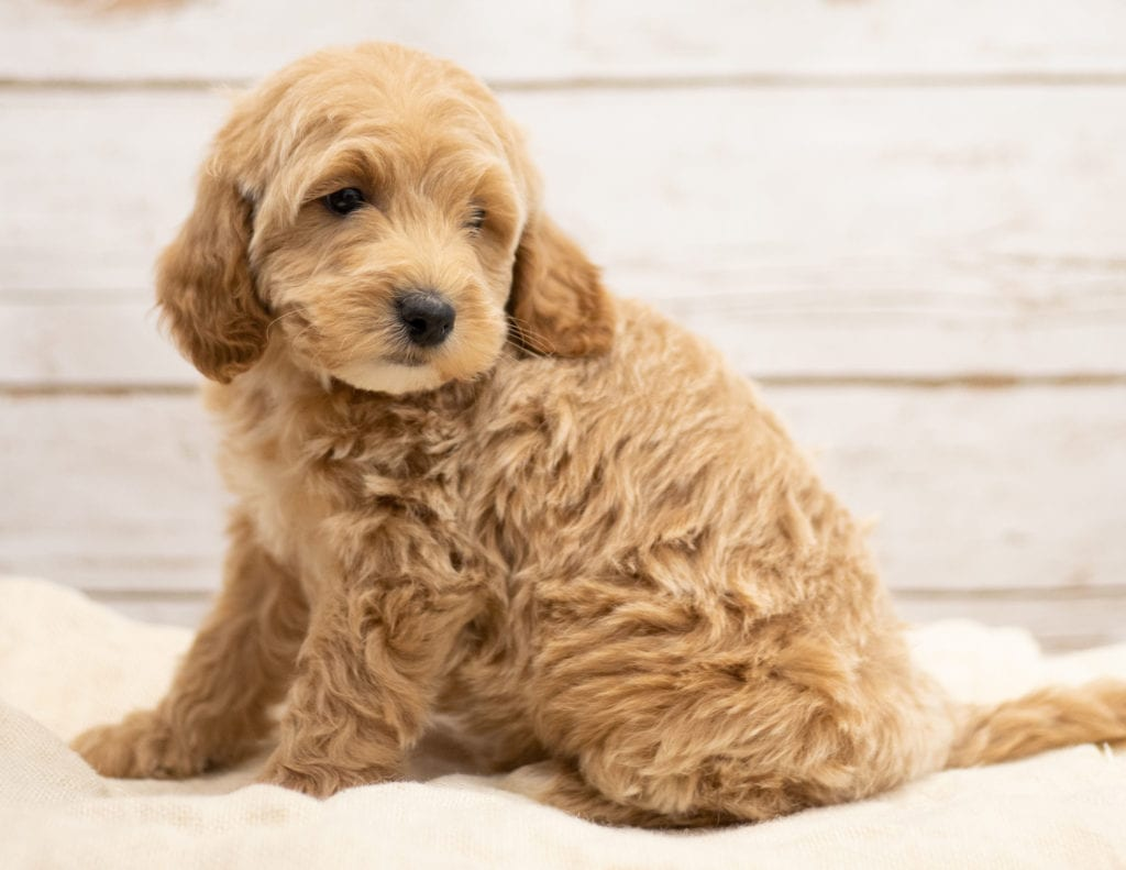 Another great picture of Kaspo, a Goldendoodles puppy