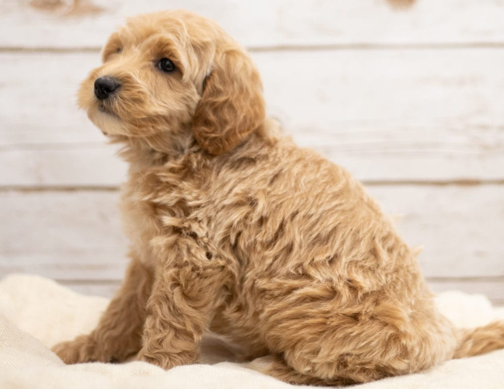 Kaspo is an F2B Goldendoodle that should have red and white abstract markings  and is currently living in Nebraska
