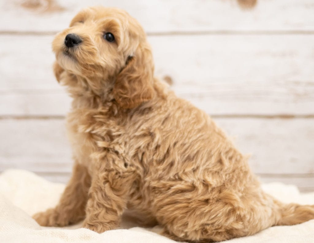 Kaspo came from Tatum and Teddy's litter of F2B Goldendoodles