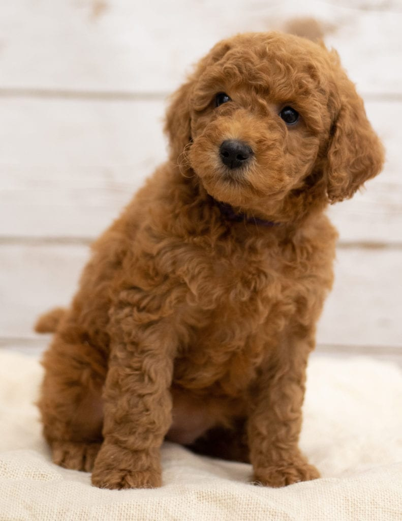 Katie came from Tatum and Teddy's litter of F2B Goldendoodles