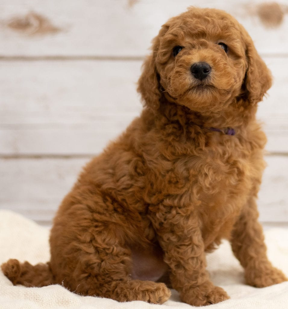 Another great picture of Katie, a Goldendoodles puppy