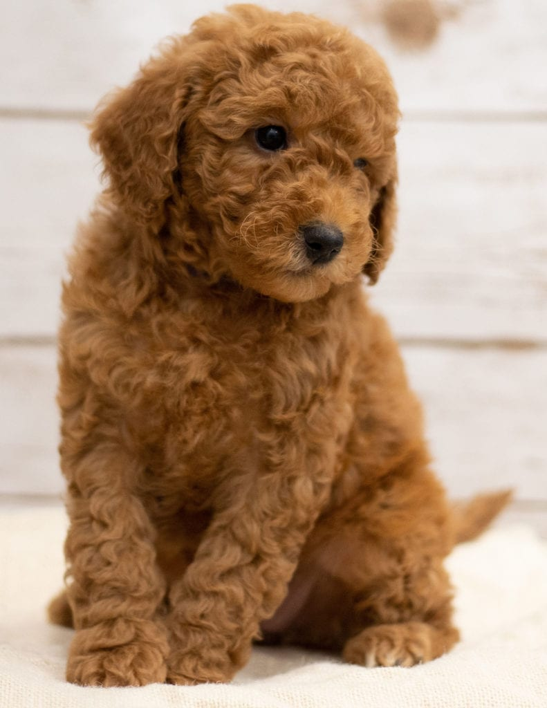 A picture of a Katie, one of our Mini Goldendoodles puppies that went to their home in Illinois