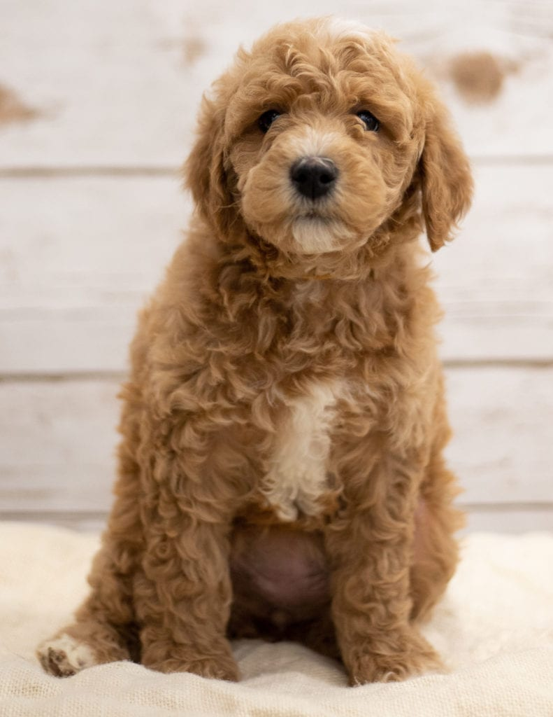 A picture of a Kel, one of our Mini Goldendoodles puppies that went to their home in South Dakota