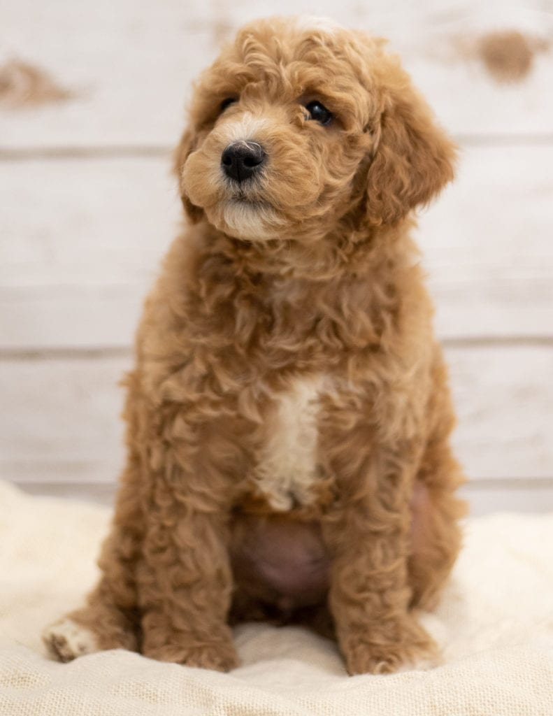 Kel is an F2B Goldendoodle that should have red and white abstract markings  and is currently living in South Dakota