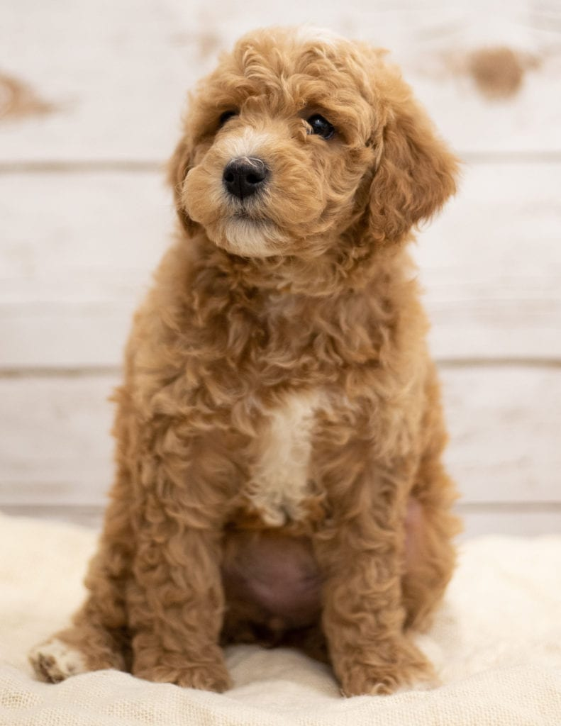 Kel came from Tatum and Teddy's litter of F2B Goldendoodles