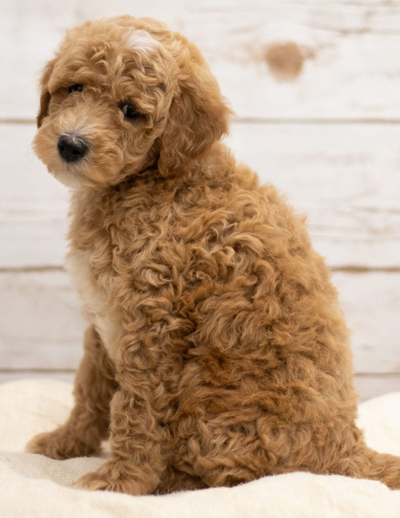 Another great picture of Kel, a Goldendoodles puppy