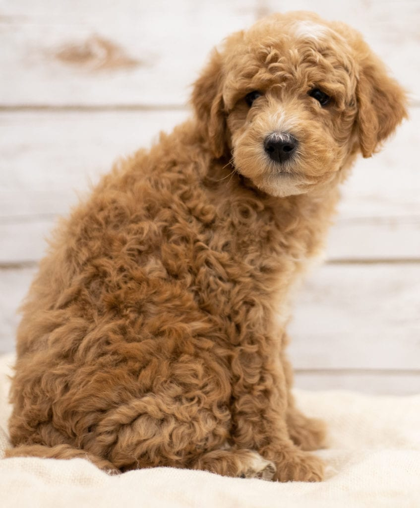 Kel was born on 01/04/2019 and is a South Dakota Goldendoodle
