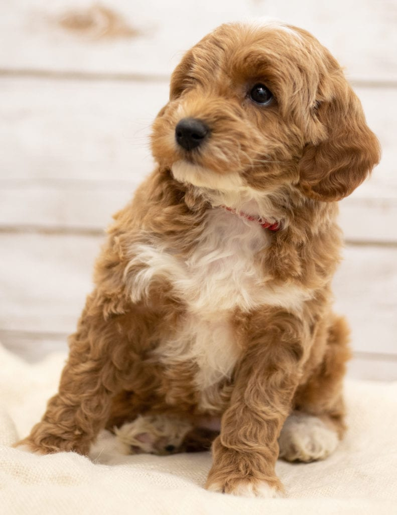 Another great picture of Ketty, a Goldendoodles puppy