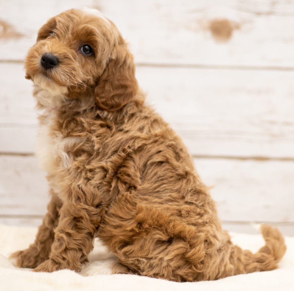 Ketty came from Tatum and Teddy's litter of F2B Goldendoodles