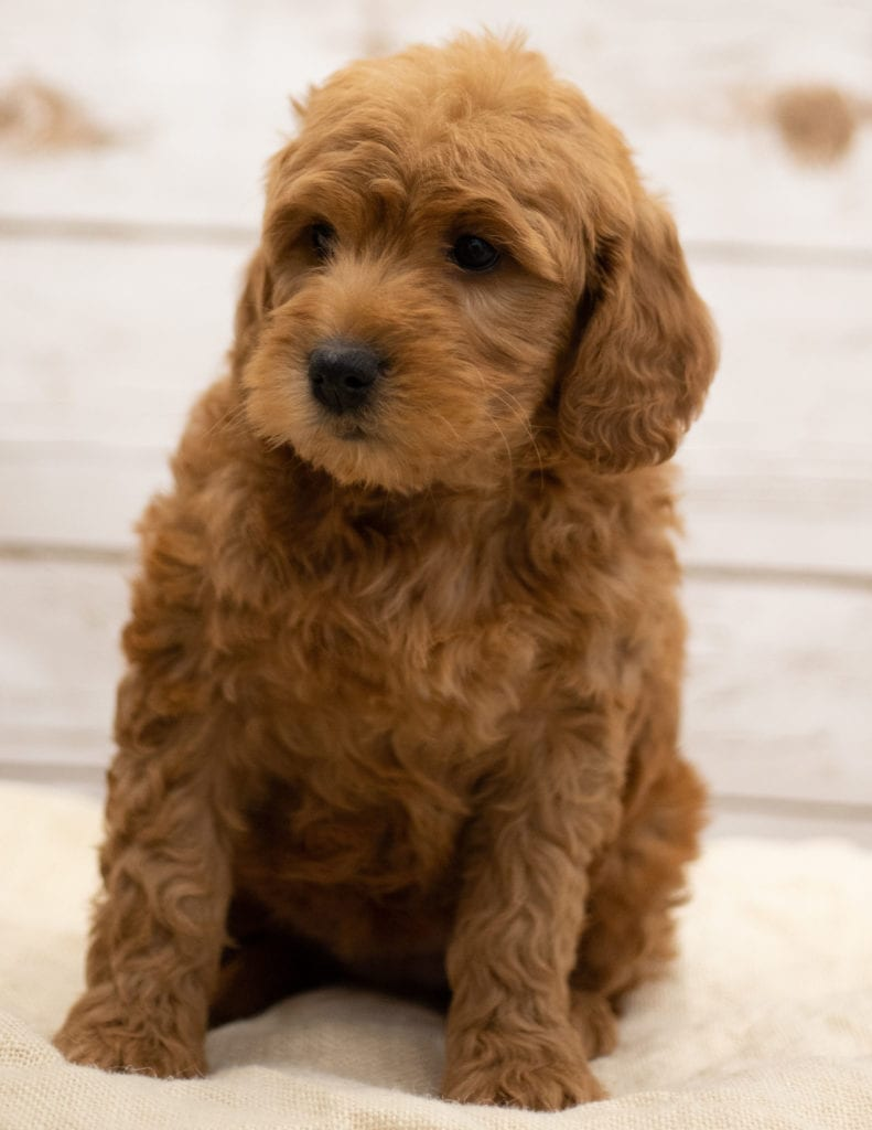Another great picture of Kimba, a Goldendoodles puppy