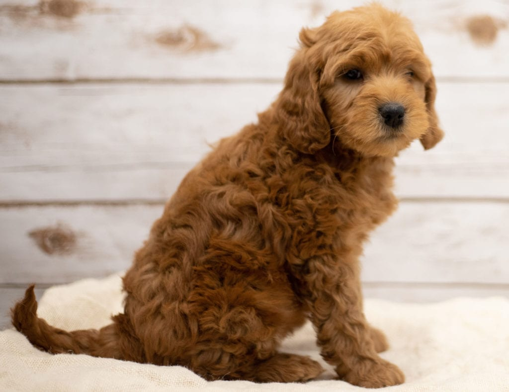 Kimba was born on 01/04/2019 and is a North Dakota Goldendoodle