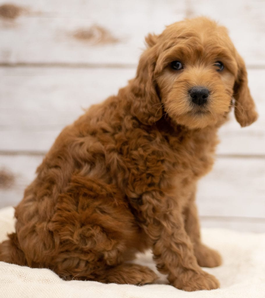 Kimba came from Tatum and Teddy's litter of F2B Goldendoodles