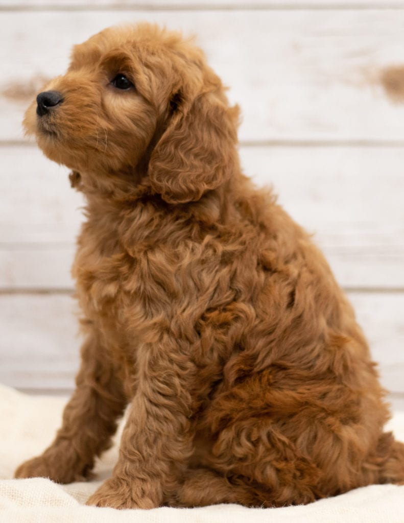 Kimba is an F2B Goldendoodle that should have red and white abstract markings  and is currently living in North Dakota