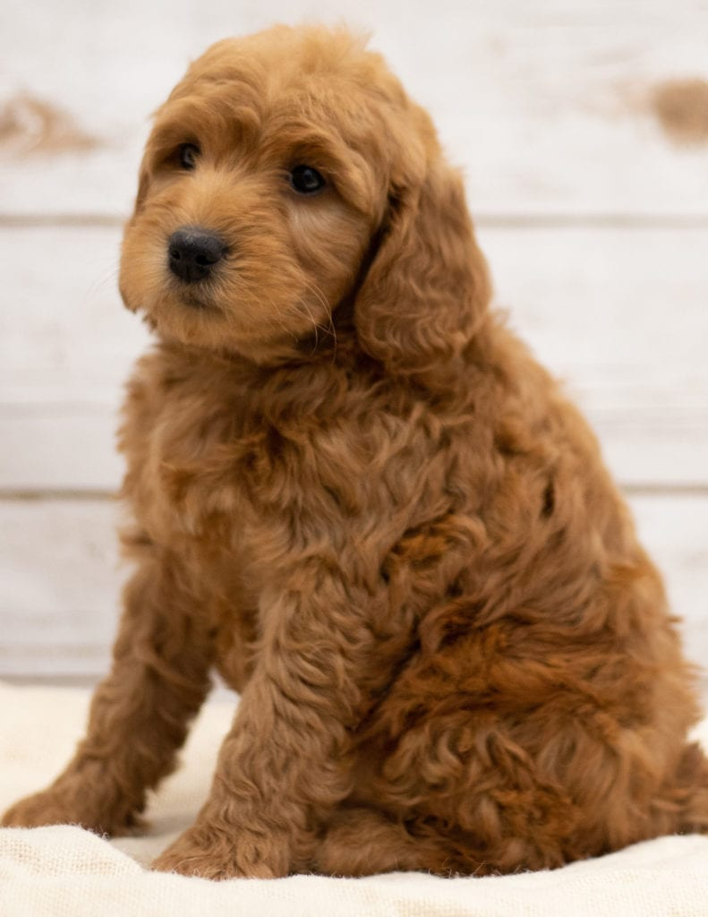 A picture of a Kimba, one of our Mini Goldendoodles puppies that went to their home in North Dakota