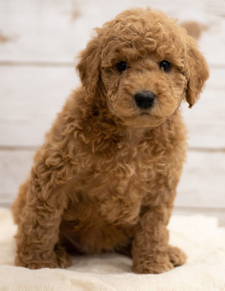 Another great picture of Kiya, a Goldendoodles puppy