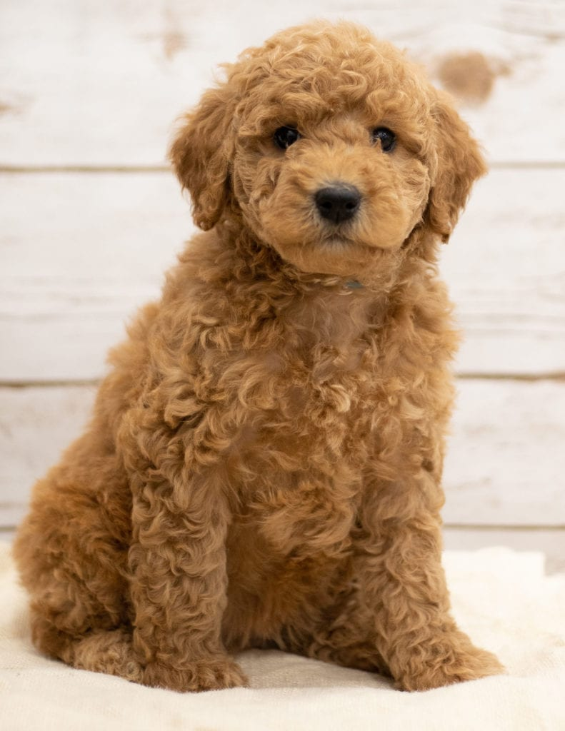 A picture of a Kiya, one of our Mini Goldendoodles puppies that went to their home in North Dakota