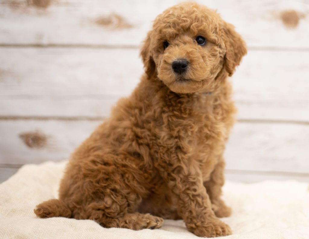 Kiya is an F2B Goldendoodle that should have red and white abstract markings  and is currently living in North Dakota