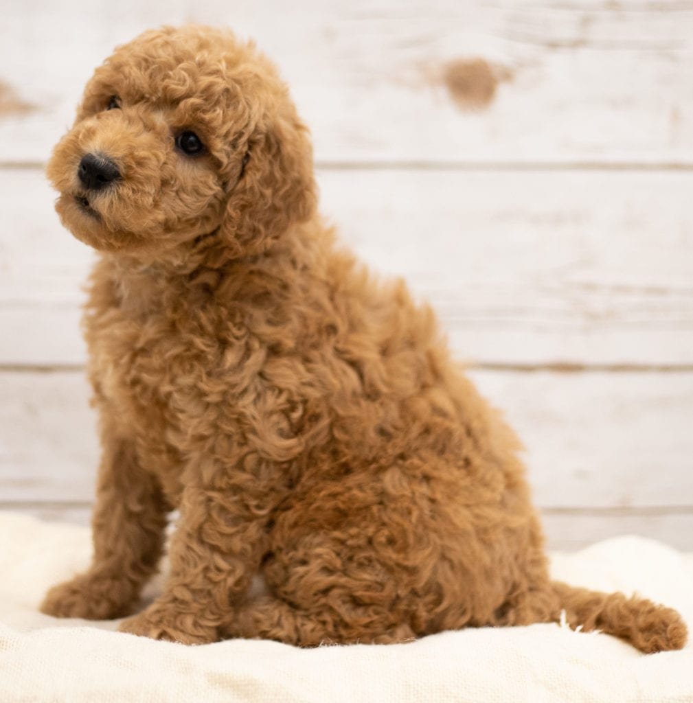 Kiya came from Tatum and Teddy's litter of F2B Goldendoodles