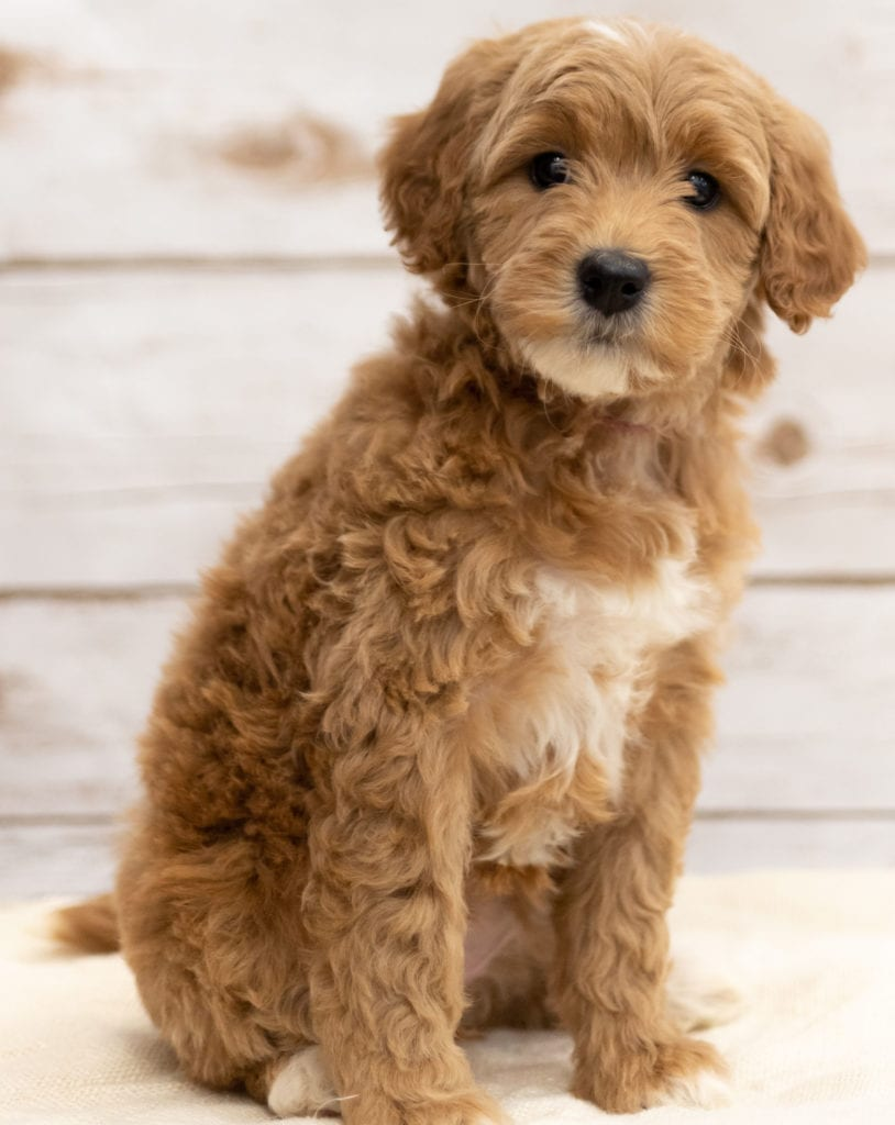 Another great picture of Kuku, a Goldendoodles puppy