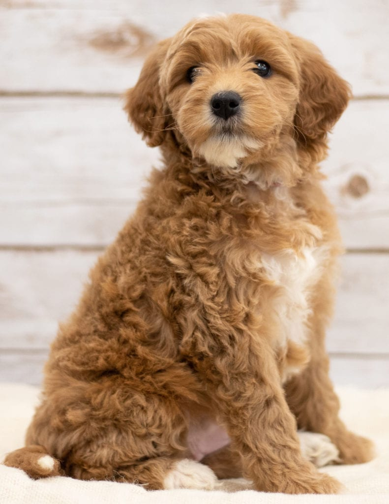 Kuku came from Tatum and Teddy's litter of F2B Goldendoodles