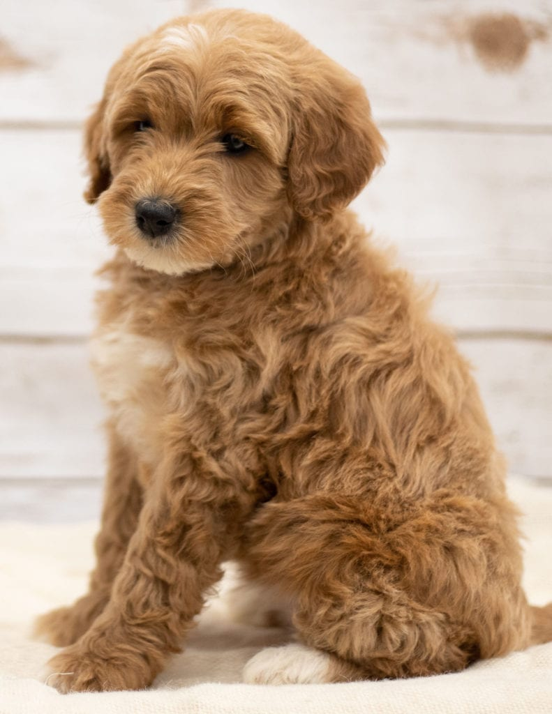 "Kuku is an F2B Goldendoodle that will be hypoallergenic. Read more about what a dog being hypoallergenic means on our latest blog post, ""The New Breed Everyone Seems to Want"""