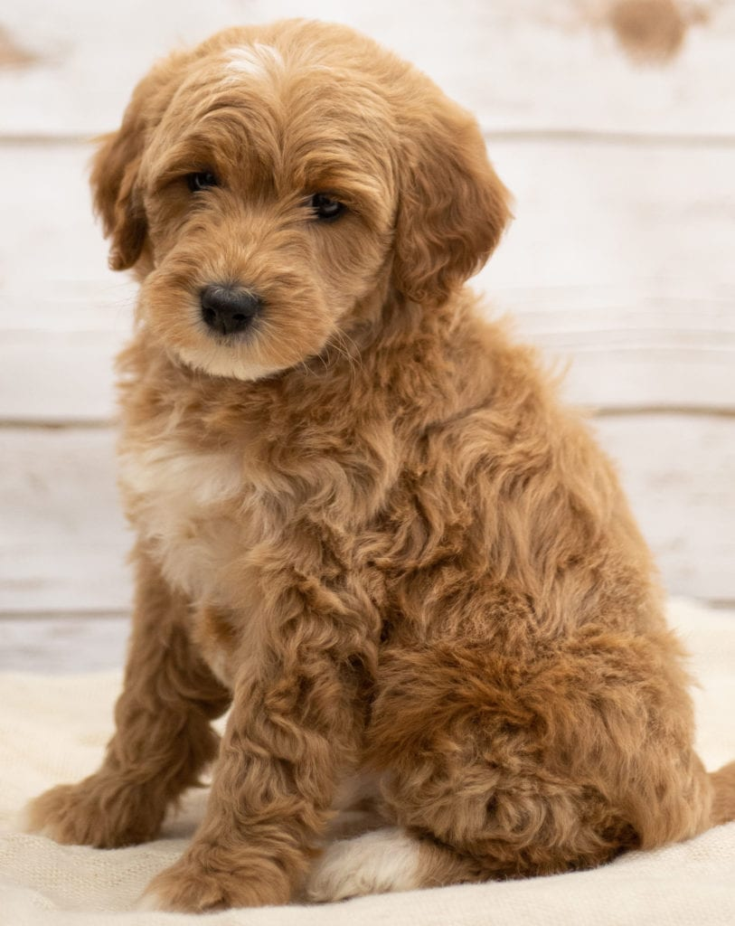 A picture of a Kuku, one of our Mini Goldendoodles puppies