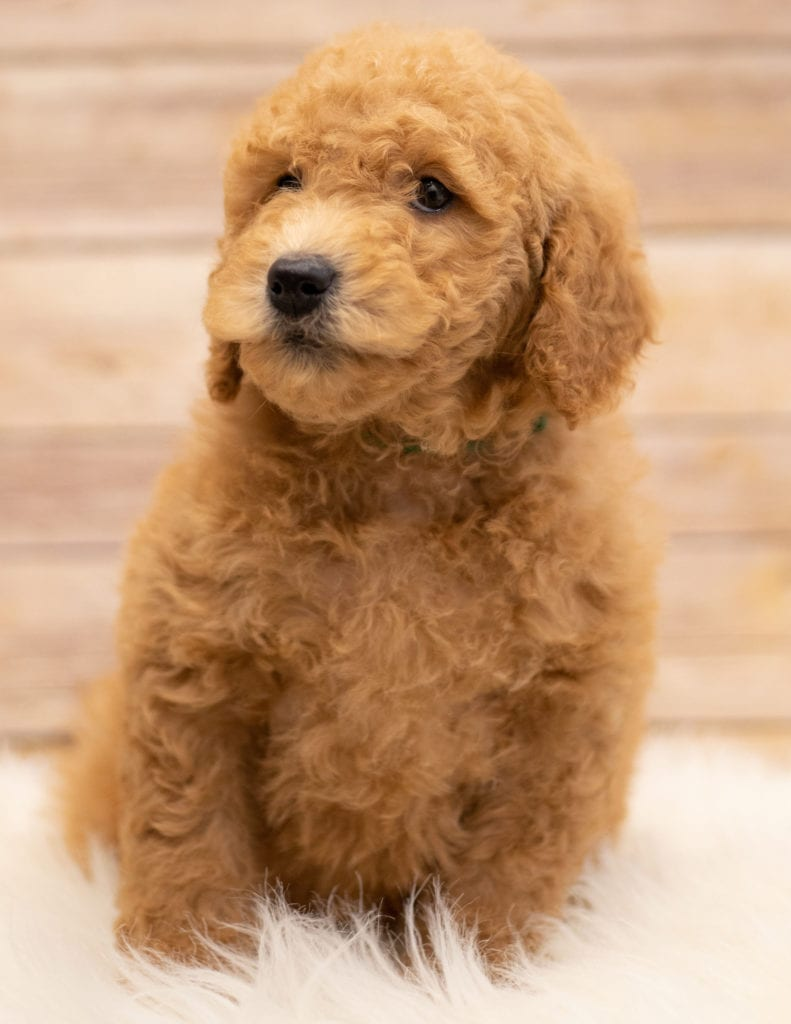 Kyra is an F2B Goldendoodle that should have red and white abstract markings  and is currently living in South Dakota