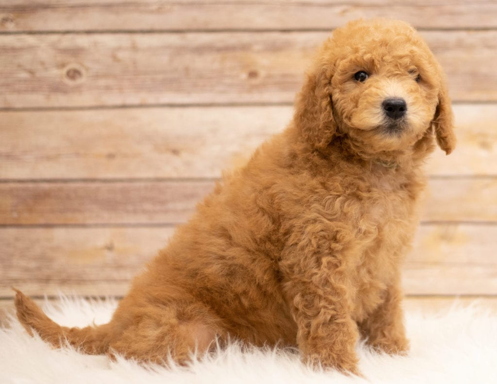 Kyra came from Tatum and Teddy's litter of F2B Goldendoodles