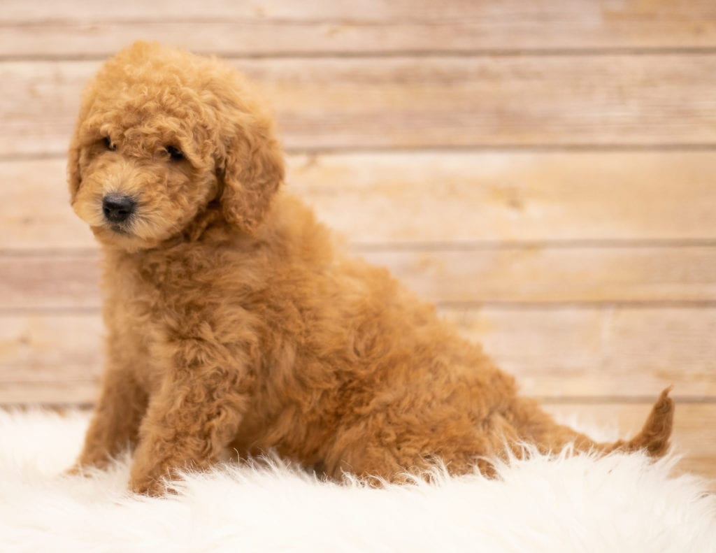 Another great picture of Kyra, a Goldendoodles puppy