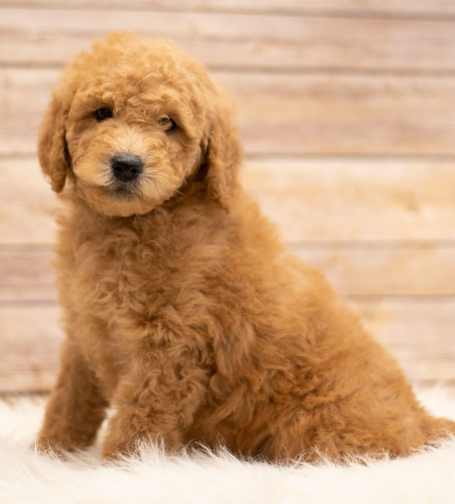 Kyra was born on 01/04/2019 and is a South Dakota Goldendoodle