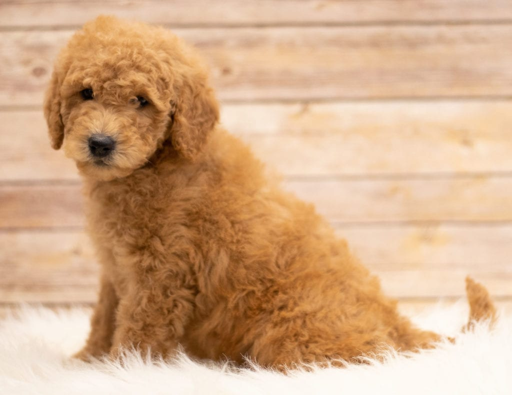 A picture of a Kyra, one of our Mini Goldendoodles puppies that went to their home in South Dakota