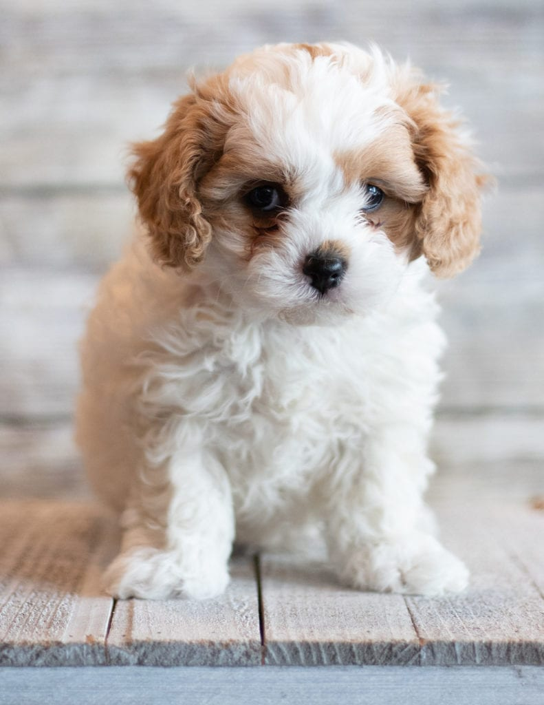 Jab is an F1 Cavapoo that should have  and is currently living in South Dakota