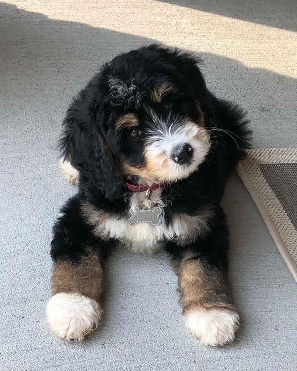 Mini Bernedoodle Puppies For Sale | Bernedoodle Breeder from Iowa