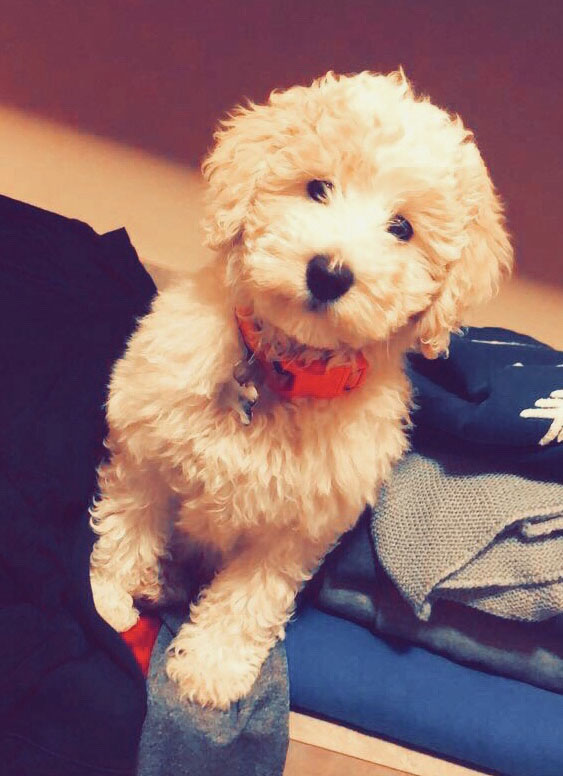 A teddy bear Goldendoodle puppy of ours