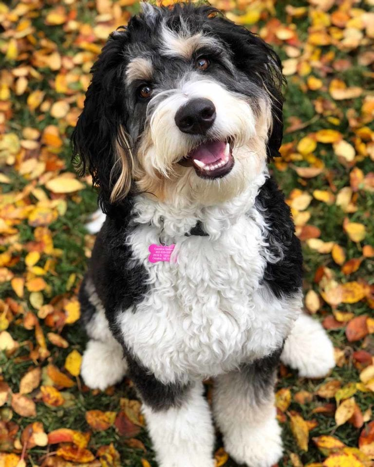 A happy Bernedoodle puppy in Virginia during the fall