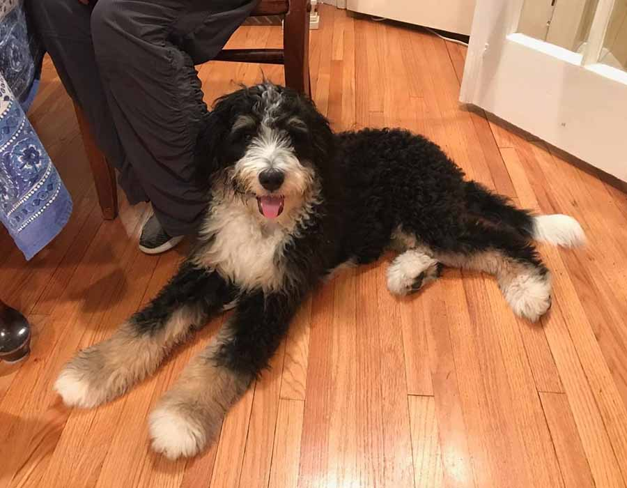 Mini Bernedoodle Puppies For Sale Bernedoodle Breeder From