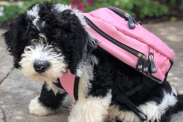 We're a Sheepadoodle breeder that produces the cutest mini Sheepadoodle puppies!
