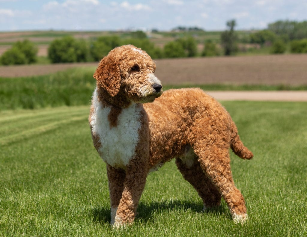 Scout is an  Poodle and a father here at Poodles 2 Doodles, Sheepadoodle and Bernedoodle breeder from Iowa