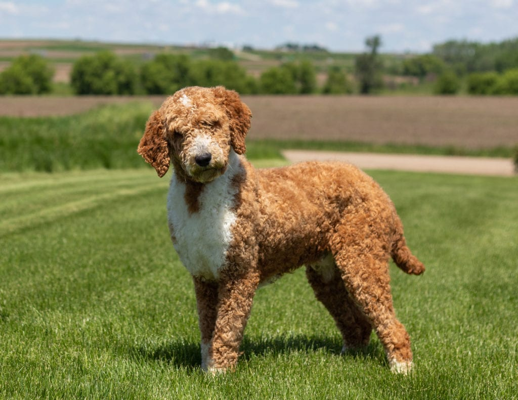Sheepadoodles bred in in Iowa by Poodles 2 Doodles