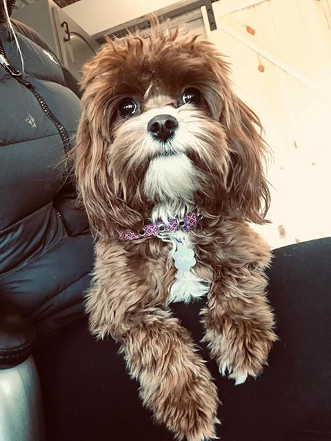 A picture of one of our Cavapoo mother's, Cali.