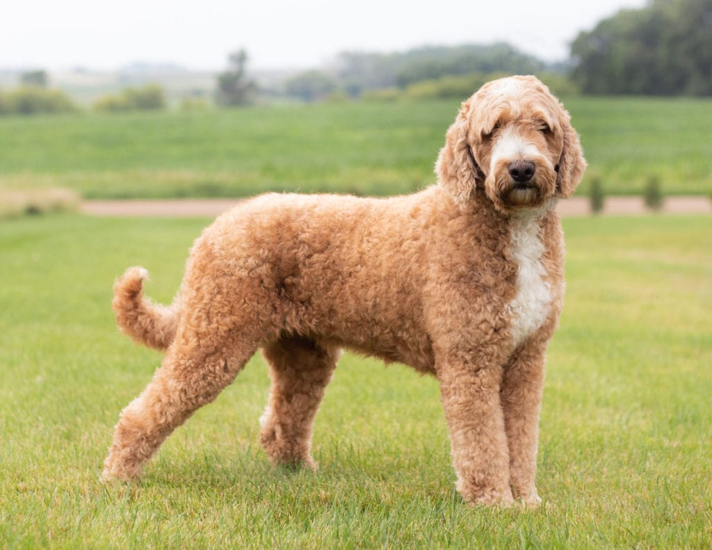 Dallas is an F1 Goldendoodle and a mother here at Poodles 2 Doodles, Sheepadoodle and Bernedoodle breeder from Iowa