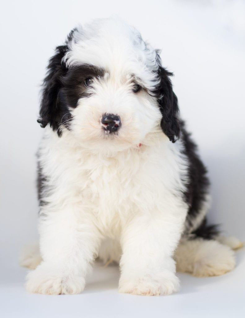 Mini Sheepadoodles with hypoallergenic fur due to the Poodle in their genes. These Sheepadoodles are of the F1 generation.